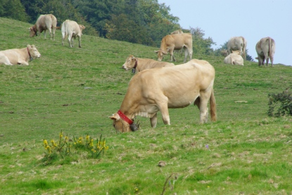 vacas en mont JPG